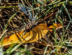 Dragonfly on a yellow leaf