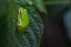 Snake Road Green Tree Frog (Hyla cinerea) (jrothdog) Tags: rothmeyer snakeroad herping herps herp reptiles snakes snake illinois shawneenationalforest laruepinehills