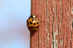 Asian Lady Beetle On Part Of Front Step Railing Post 011 - Harmonia Axyridis (Chrisser) Tags: insects insect beetles beetle asianladybeetles asianladybeetle harmoniaaxyridis nature ontario canada canoneosrebelt6i canonefs60mmf28macrousmprimelens coccinellidae lens00025 digital