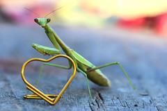 "Heart of Gold (dianne_stankiewicz) Tags: insect mantis macro hmm macromondays paperclip wire heart heartofgold gold bokeh mantid ""prayingmantis"""