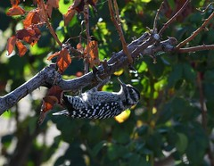 Ladder-backed Woodpecker, Picoides scalaris (Dave Beaudette) Tags: birds ladderbackedwoodpecker picoidesscalaris reidpark tucson pimacounty arizona