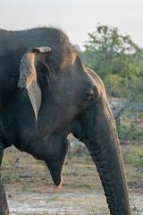 Elephas maximus ssp. maximus (Sri Lankan Elephant) - Elephantidae - Yala National Park, Southern Province, Sri Lanka (Nature21290) Tags: afrotheria april2019 elephantide elephas elephasmaximus elephasmaximussspmaximus mammalia southernprovince srilanka2019 srilankanelephant tissamaharama yalanationalpark