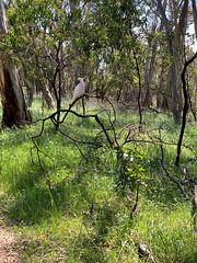 Sulphur Crested Cockatoo (Serendigity) Tags: adelaidehills australia belair sa southaustralia nationalpark nature spring