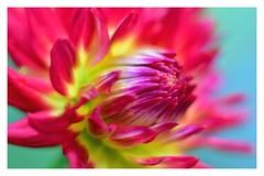 Macro Mondays! (Nina_Ali) Tags: pink flowerart flora closeup petals vibrant colour flower macromonday macro mm