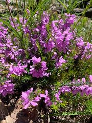 Spring Flowers (Serendigity) Tags: adelaidehills australia belair sa southaustralia nationalpark nature spring