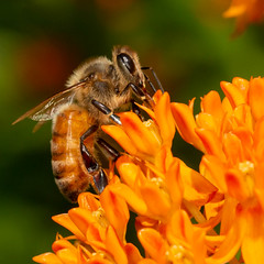 Honeybee on Butterflyweed (mattbpics) Tags: canon 70d 100 100mm nature wildlife insect hymenoptera bee honeybee