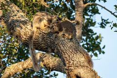 Ratufa macroura ssp. dandolena (Grizzled Giant Squirrels) - Sciuridae - Yala National Park, Southern Province, Sri Lanka-2 (Nature21290) Tags: april2019 grizzledgiantsquirrel mammalia ratufamacroura ratufamacrourasspdandolena rodentia sciuridae southernprovince srilanka2019 yalanationalpark