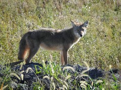 COYOTE (Lisa Plymell) Tags: lisaplymell nikon coyote coolpixp900 loessbluffs