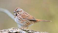song sparrow at Chipera Prairie IA 653A6934 (naturalist@winneshiekwild.com) Tags: song sparrow chipera prairie winneshiek county iowa larry reis
