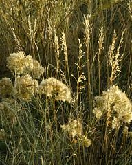 "Dried Weeds During ""Golden Hour"" (dcstep) Tags: colorado cherrycreekstatepark cherrycreekreservoir usa greenwoodvillage sonya7riii fe100400mmf4556gmoss goldenhour weeds dsc4932dxo"