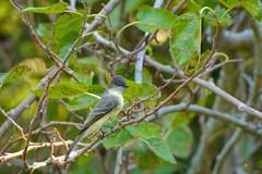 Fort De Soto Park Eastern Phoebe 10-11-2019 (Jerry's Wild Life) Tags: eaph easternphoebe florida flycatcher fortdesoto fortdesotopark ftdesoto ftdesotopark pinellascounty pinellascountypark sayornisphoebe songbird songbirds