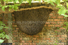 43594 October 14 2019, the huge honeycomb of Giant Asiatic Honey Bees (Apis dorsata) has got even bigger since August 18th (Image 42165), Ipoh, Perak, Malaysia. (K Fletcher & D Baylis) Tags: animal wildlife fauna insect eusocial colony superorganism hymenoptera bee honeybee gianthoneybee giantasiatichoneybee megapis apis apisdorsata workerbees callows beecurtain dangerouswildlife dangerousinsect dangerousbees killerbee aggressivebees comb honeycomb hive beehive nest beesnest noni morindacitrifolia ipoh perak malaysia asia october2019
