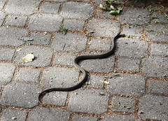 Taking advantage (EcoSnake) Tags: westerngartersnake thamnophiselegansvagrans gartersnakes snakes reptiles den october idahofishandgame naturecenter