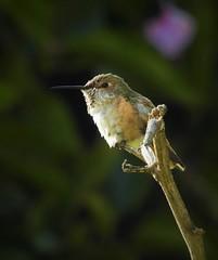 My first picture of a Calliope Humningbird! (Ruby 2417) Tags: calliope hummingbird bird wildlife nature rarel rarity san diego female botanic garden gardens
