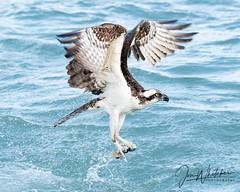 41/52 - Skilled hunter (jonwhitaker74) Tags: bird birds osprey wildlife