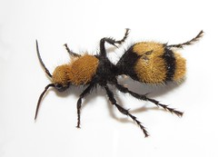 """Eastern Velvet Ant (""""Cow-killer"""") (Bug Eric) Tags: animals wildlife nature outdoors insects bugs wasps female solitary velvetants mutillidae hymenoptera chicobasinranch colorado usa cowkiller easternvelvetant dasymutillaoccidentalis northamerica august242019"""