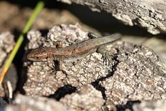 Juvenile lizard shedding skin. (ChristianMoss) Tags: viviparous lizard zootoca vivipara reptile eppingforest common outside