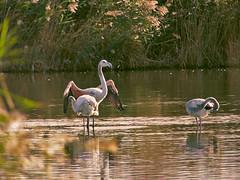 La goutte au bec (doumé piazzolli) Tags: lagrandemaïre languedocroussillon lagune fz200 flamandrose flamingo portiragnes sérignan eau goutte occitanie végétation reflet animaux animal oiseaux