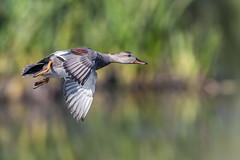 Inflight Gadwall (Glenn.B) Tags: nature naturereserve rspb hamwall someretlevels wildlife somerset bird water duck waterfowl avian wildfowl gadwall