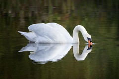 Swan reflection in the pond (Eugene Lagana) Tags: swan reflection pond wildlife nature beautiful outdoor beak water zoom 200500 nikon