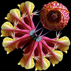 Tiger Eye & Peruvian Lilies (Pixel Fusion) Tags: nature nikon flora flower aperture macro d600 photoshop peruvianlily tigereye