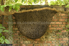 43595 October 14 2019, the huge honeycomb of Giant Asiatic Honey Bees (Apis dorsata) has got even bigger since August 18th (Image 42165), Ipoh, Perak, Malaysia. (K Fletcher & D Baylis) Tags: animal wildlife fauna insect eusocial colony superorganism hymenoptera bee honeybee gianthoneybee giantasiatichoneybee megapis apis apisdorsata workerbees callows beecurtain dangerouswildlife dangerousinsect dangerousbees killerbee aggressivebees comb honeycomb hive beehive nest beesnest noni morindacitrifolia ipoh perak malaysia asia october2019