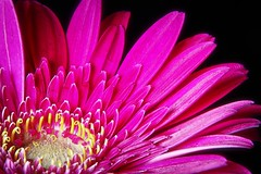 First quarter (Michael Schönborn) Tags: nx500 nx50200f456 samsung flower focusstacking stacked pink gerbera macro makro detailed