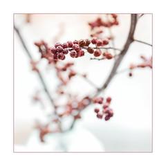 Weißdorn (Panasonikon) Tags: panasonikon panasonic dmcg81 mzuiko4518 makro minimalismus minimalism schärfentiefe fineart weisdorn zweig rot red quadrat square stillleben mft
