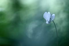 IMG_5751 - Découverte........un cyclamen dans la forêt) (mp mapa) Tags: france nature foret yvelines fleur cyclamen blanc proxi vivace sauvage