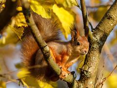 squirrel in autumn (Antti Tassberg) Tags: bokeh syksy eläin orava ruska luonto animal autumn colors fall nature squirrel
