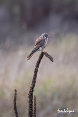 (fh.hillsboro) Tags: americankestrel birds sublocation