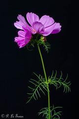 Cosmos 01 (letexierpatrick) Tags: cosmos fleur flower fleurs flowers floraison fondnoir botanique black noir nature nikond7000 nikon colors couleurs couleur proxiphotographie plante france europe explore