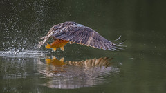 Osprey 0569 (Paul McGoveran) Tags: bif bird birdinflight hendrievalley nature nikon500mmf4 nikond500 nikond850 osprey wings coth5