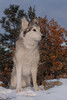 Aurora (Cruzin Canines Photography) Tags: aurora animal animals canon canoneos5ds canon5ds canine 5ds eos5ds dog dogs pet pets portrait palmerpark outdoors outside nature colorado coloradosprings snow husky huskies alaskanhusky siberianhusky