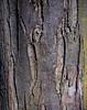 Hornbeam bark  (I think, but I'm open to correction)