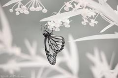 9-watermark (Brian M Hale) Tags: monarch 720nm ir infrared kolari vision kolarivision outside outdoors nature insect tower hill botanic botanical garden boylston ma mass massachusetts newengland usa brian hale brianhalephoto