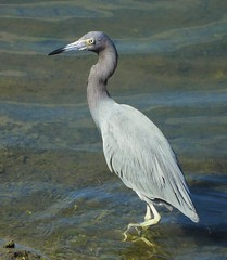 Little Blue Heron in San Diego! (Ruby 2417) Tags: blue heron bird wildlife nature shallow water channel lagoon ocean mission bay san diego marsh salt smiley beach rare rarity