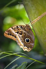 Morpho [Explored #29] (Emmanuel Lemée   Photographie) Tags: nikon nikkor 105mm jardin papillon papillons vannes bretagne france d800