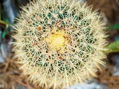 Cactus (elzauer) Tags: sanvitolocapo provinceoftrapani italy abstract agave aloe blossom botany bud cactus closeup decoration flower flowerhead greencolor leaf lushfoliage nature ornate outdoors pattern petal plant sand sharp spiked succulentplant textured thorn tropicalclimate tropicalflower