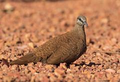 White-quilled Rock-Pigeon (christinaport) Tags: whitequilledrockpigeon rockpigeon wa kununurra australia bird birds wild free