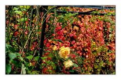The Autumn Garden (thepeterleigh) Tags: garden fujifilm fuji flower flowers rose leaf leaves autumn natur nature outside