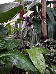Tacca integrifolia (Eerika Schulz) Tags: tacca integrifolia herrenhausen garten herrenhäuser gärten berggarten hannover eerika schulz