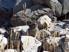 american pika-ancient bristlecone pine forest (1) (gskipperii) Tags: pika cute adorable snafflehound peaceful lagomorph rockrabbit hay talus rocks inyonationalforest ancientbristleconepine discovery smallmammal mammal nature tiny outdoors animal wildlife