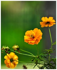 """""""Chances are anywhere else, all you need to do is to grab them because they don't always show up."""" _ Carl Lomer Abia (Ramalakshmi Rajan) Tags: flowers orange flower nikon quotes nikkor24120mm nikond750 nature"""
