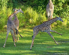 Young Masai Giraffes at play (Harry Rother) Tags: animal mammal giraffe giraffes masai africa safari kilimanjaro disney cute