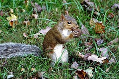 Squirrel with Chestnut (Anne Ahearne) Tags: wild animal nature wildlife gray grey squirrel easterngraysquirrel cute feeding autumn