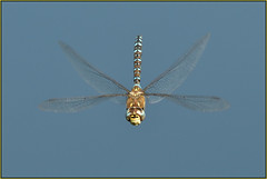 Migrant Hawker (image 1 of 2) (Full Moon Images) Tags: rspb fen drayton lakes wildlife nature reserve cambridgeshire insect macro flight flying migrant hawker dragonfly