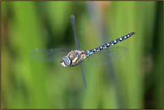 Migrant Hawker (image 2 of 2) (Full Moon Images) Tags: rspb fen drayton lakes wildlife nature reserve cambridgeshire insect macro flight flying migrant hawker dragonfly