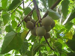 fruit on the Candlenut tree (Aleurites moluccana) (imbala) Tags: wilsonscreeknsw candlenutfruit euphorbiaceae aleuritesmoluccana fruit candlenut