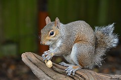 Mr Half a Tail (Eleanor (New account))) Tags: specanimal animal squirrel greysquirrel goldershillpark london england uk nikond7100 october2019 coth5